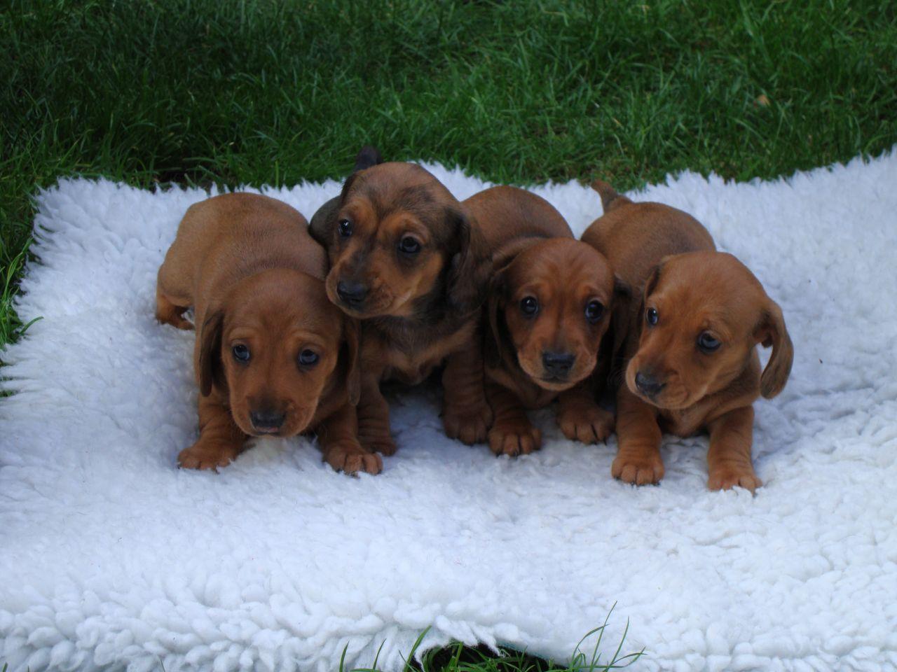 Red Smooth Mini Dachshund Puppies Sheep Dog Puppy Dachshund Puppies Dapple Dachshund Puppy