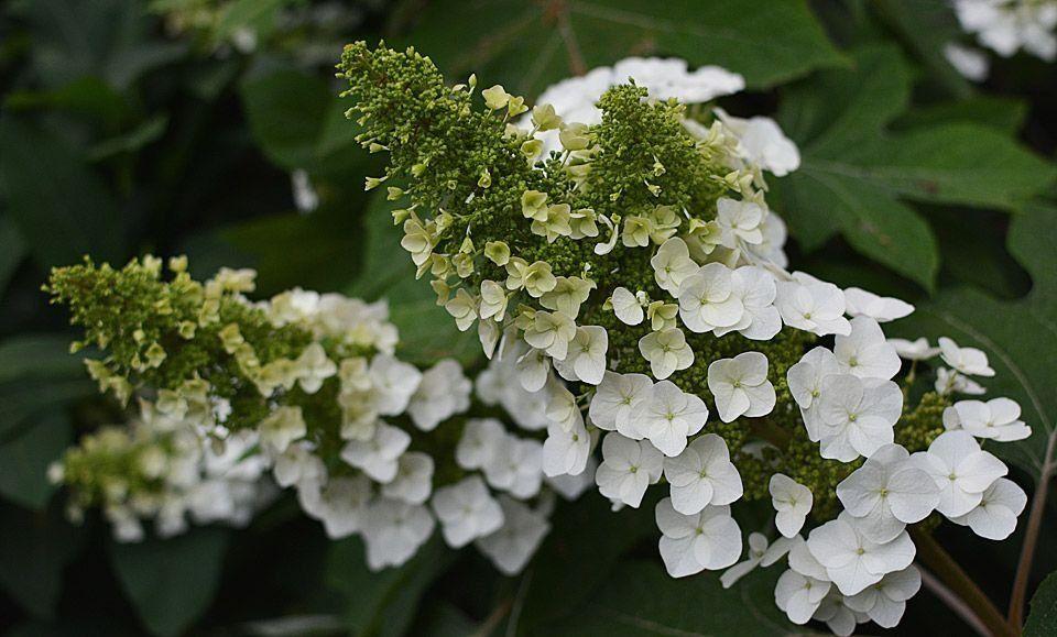 Hydrangea quercifolia oakleaf hydrangea my favorite