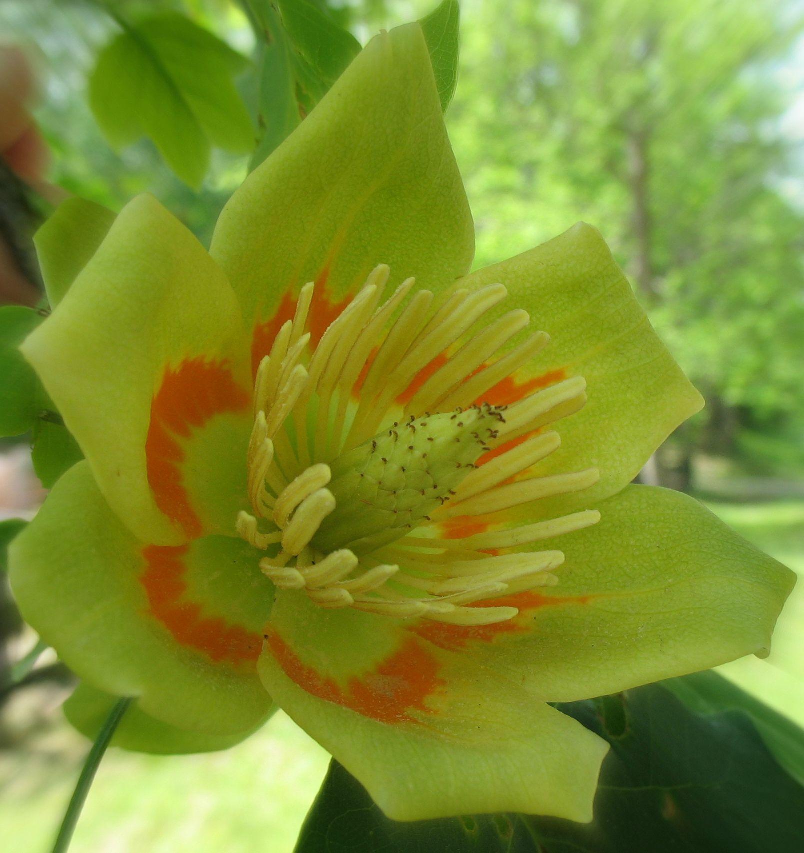 Small Ornamental Trees Nc: Tuliptree - Fast Growing Shade Tree