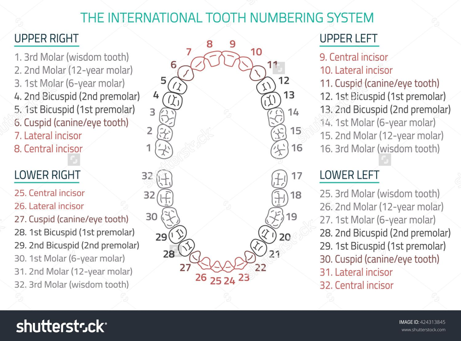 Adult International Tooth Numbering Chart Vector Illustration Editable Image In Modern Style