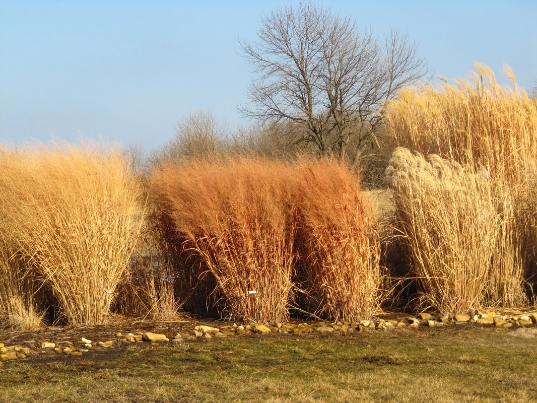 pictured in the middle is panicum virgatum switchgrass u0027dallas