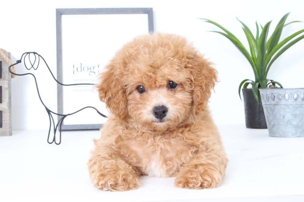 Puppies For Sale In Florida And Nationwide Poochon Puppies