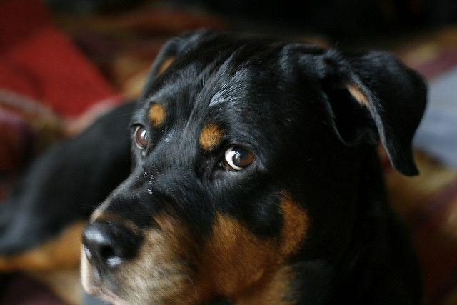 Rottweiler Eyebrows Rottweilers Pinterest Rottweiler