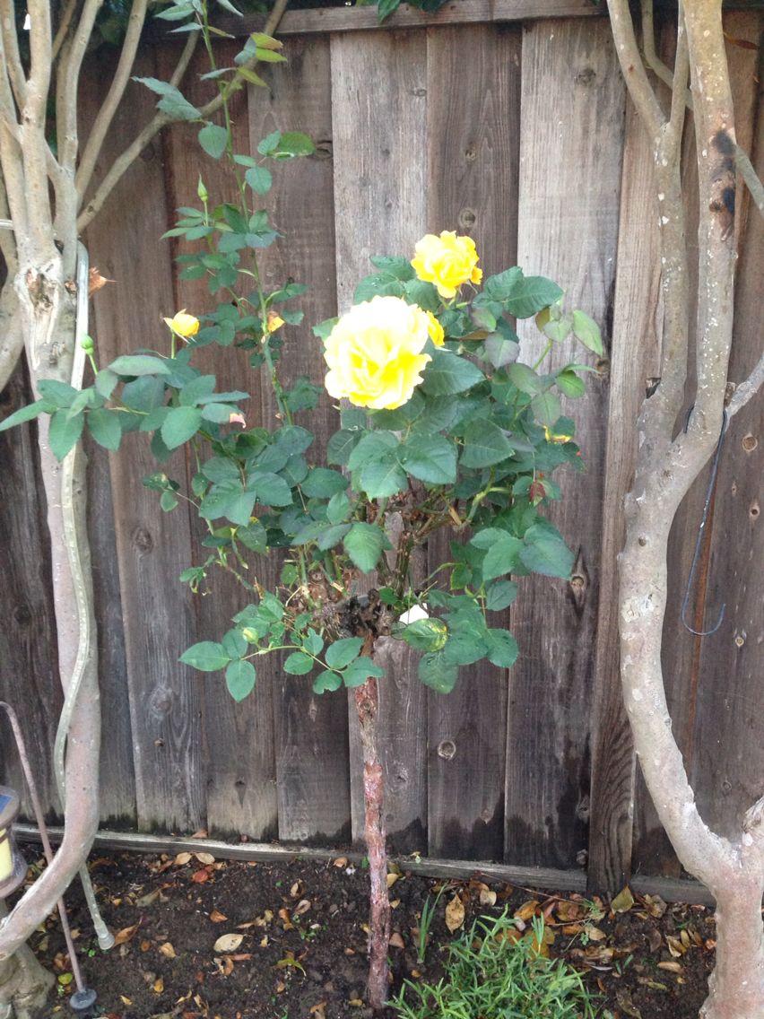 Sunsprite Patio Tree Rose