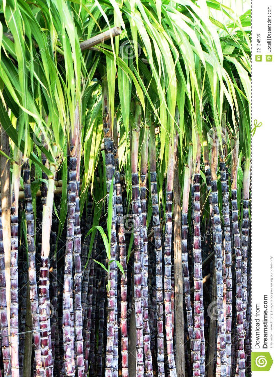 Black Sugarcane Stalks Sugarcane Image Sugarcane Sugar Cane Plant