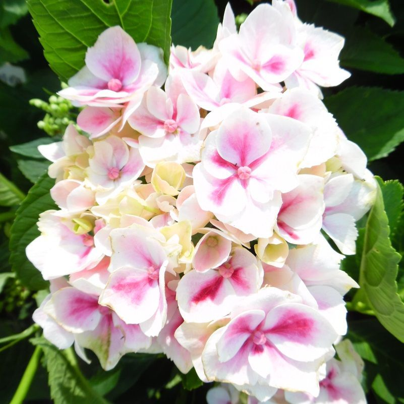 Hydrangea macrophylla Camilla is a medium sized bushy deciduous bicolour hydrangea Produces large rounded clusters of pink flowers on the inside
