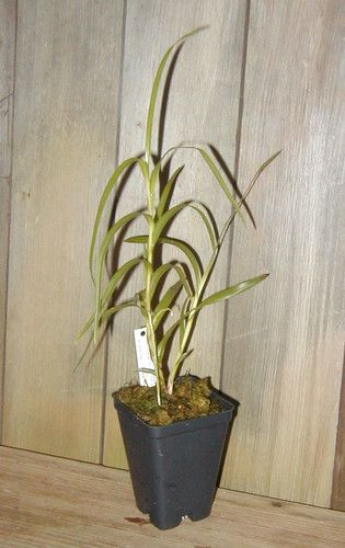 Rare orchid species blooming size plant 1x Neobenthamia gracilis