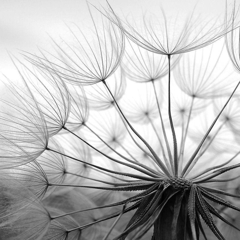 Pusteblume Schwarz Weiß Wallpaper