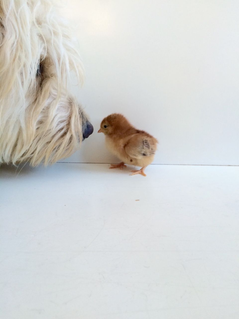 """9234220f2c Introducing """"Butterscotch"""" the Easter egger chick with her  1 fan Eli."""