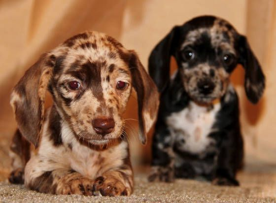 Miniature Dachshund Puppies For Sale In Ca Co Nd Nm Ny Tx Ut Wy