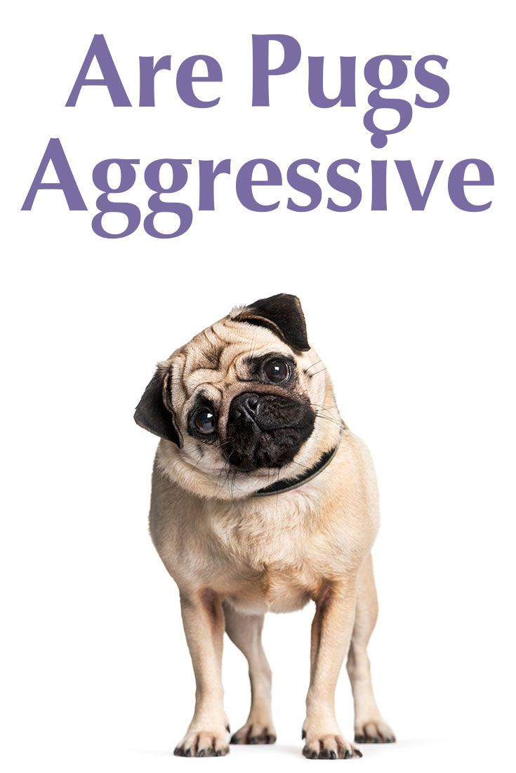 Are Pugs aggressive? What you need to know about this