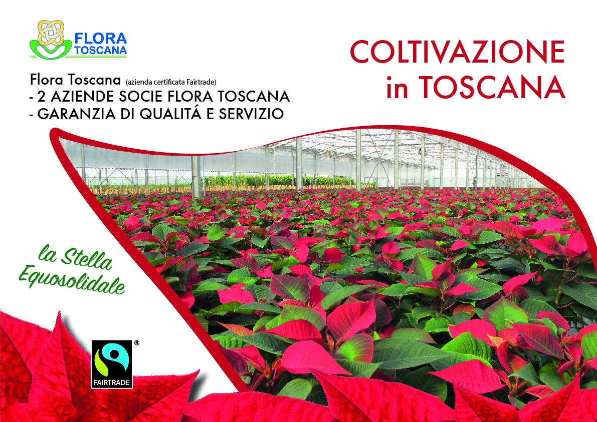 Coltivazione dei soci di Flora Toscana delle Poinsettia #Fairtrade in Toscana!