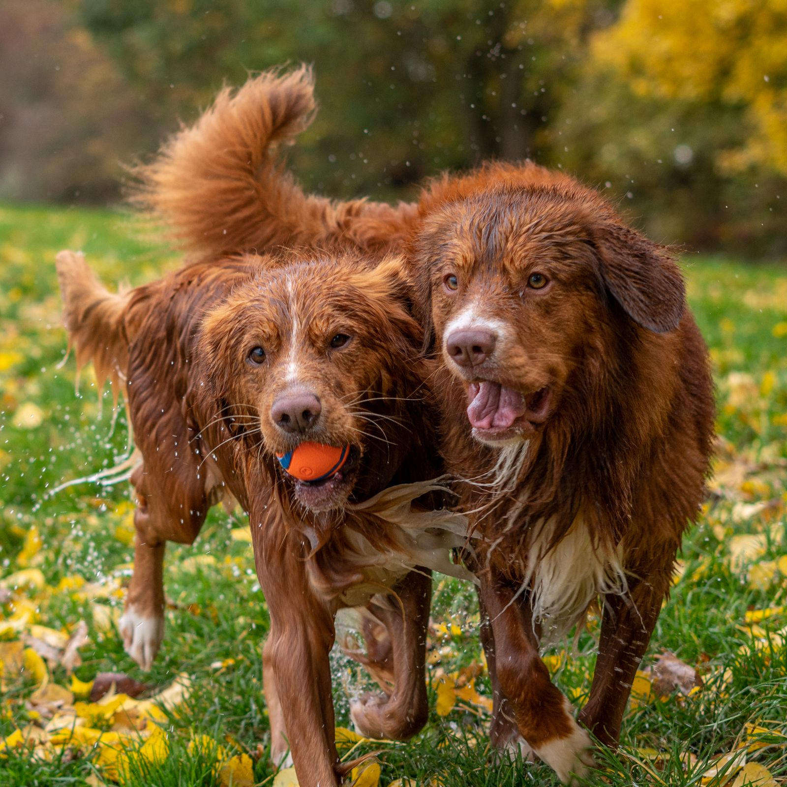 Wet And Happy Dogs Playing Fetch In Autumn Colors Love Nova