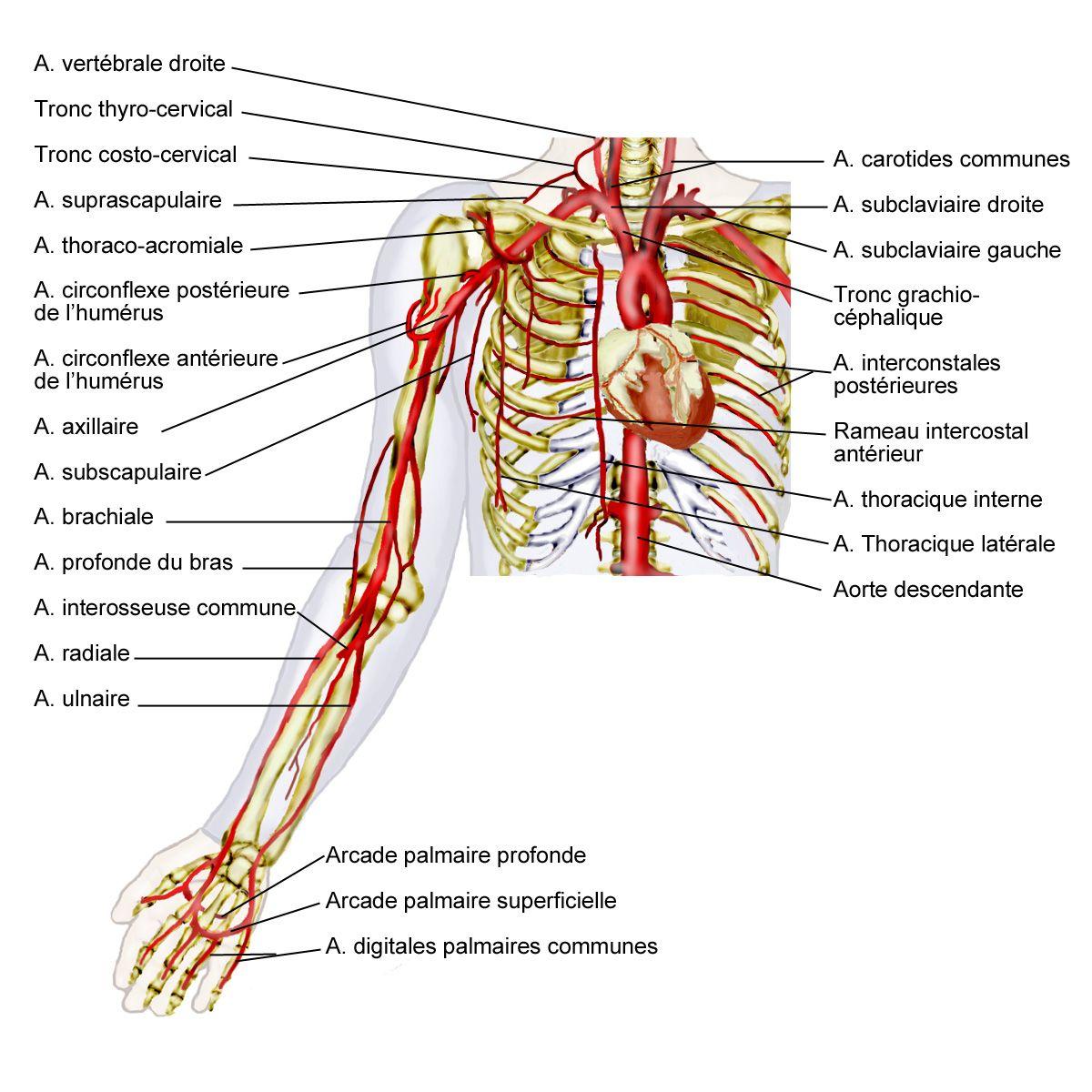 Beste Anatomie Und Physiologie Projekt Fotos - Physiologie Von ...