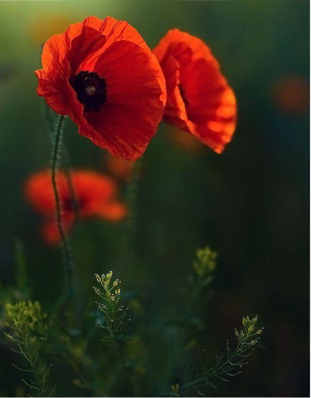 Pin by matthias miles on ich pinterest flowers flowers garden maki poppy flowersred mightylinksfo