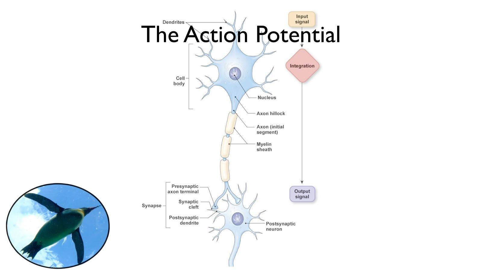 The Action Potential Of The Nervous System Via Youtube