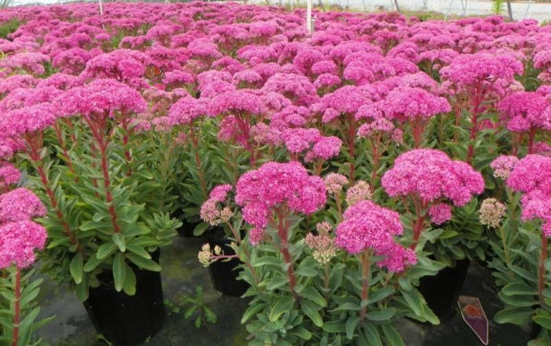 Osteospermum Kwiat Na Sloneczny Balkon Fot Flora Dania Flower Beauty Spring Beauty Pelargonium