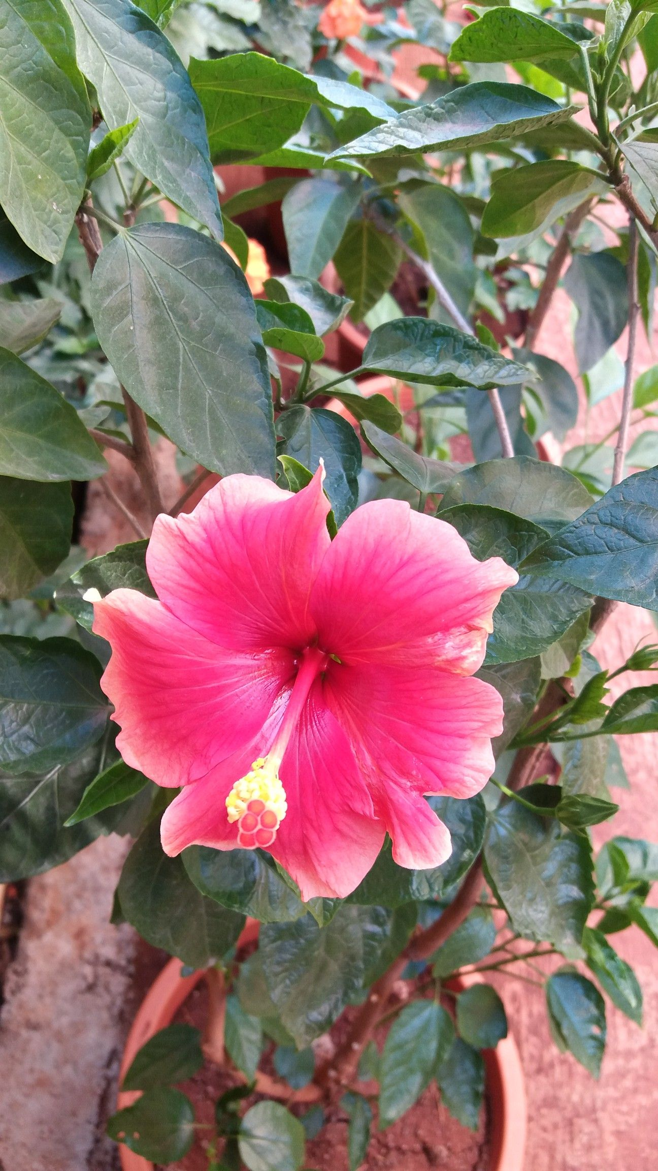 Thank You Very Much With Images Hibiscus Plants Garden