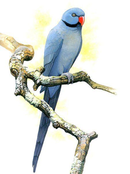 Вымершие и уничтоженные виды попугаев и других птиц Bbc54d31a71c1e69abb7c3c730695b30