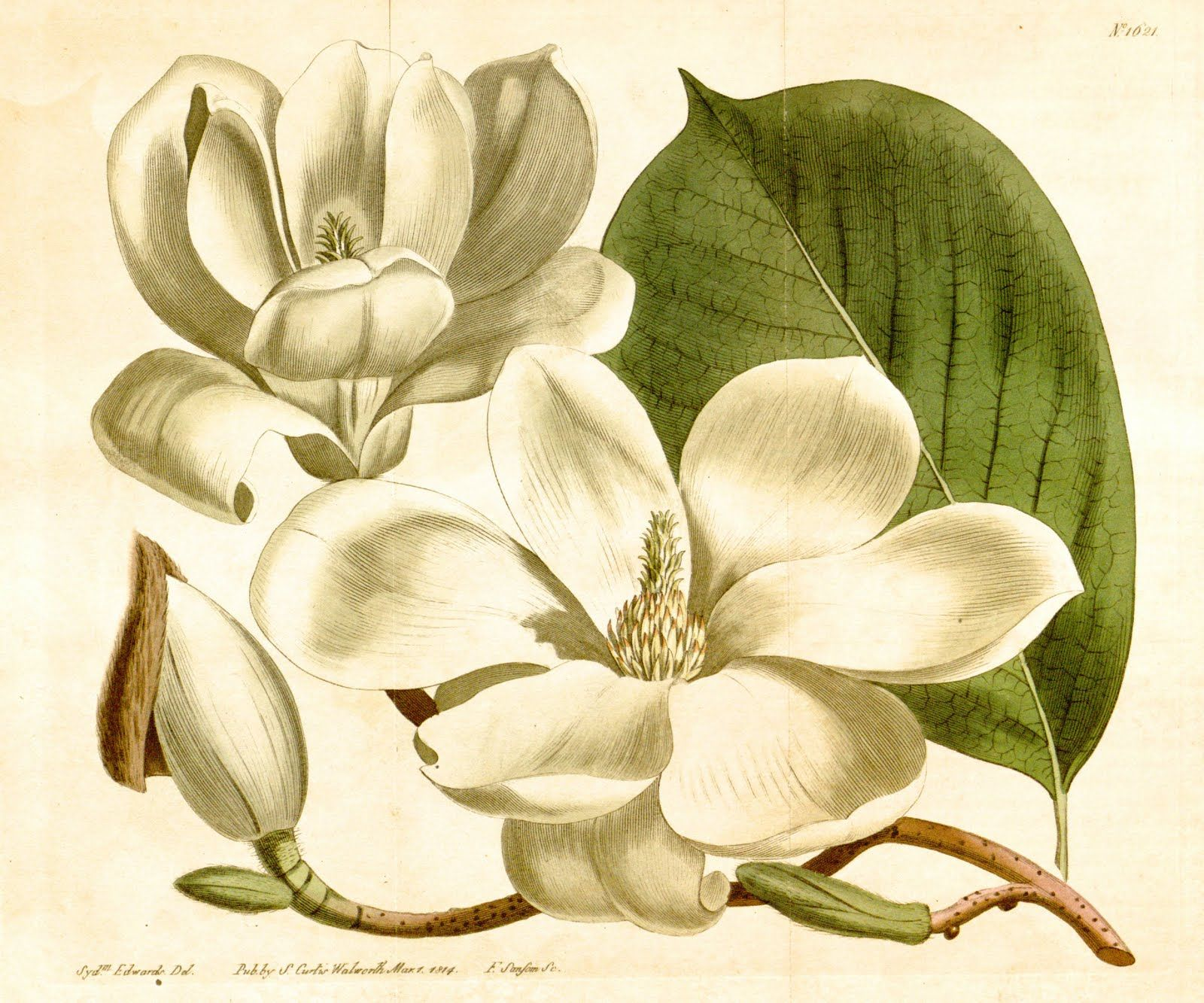 Botanical Plate, Magnolia, 1814