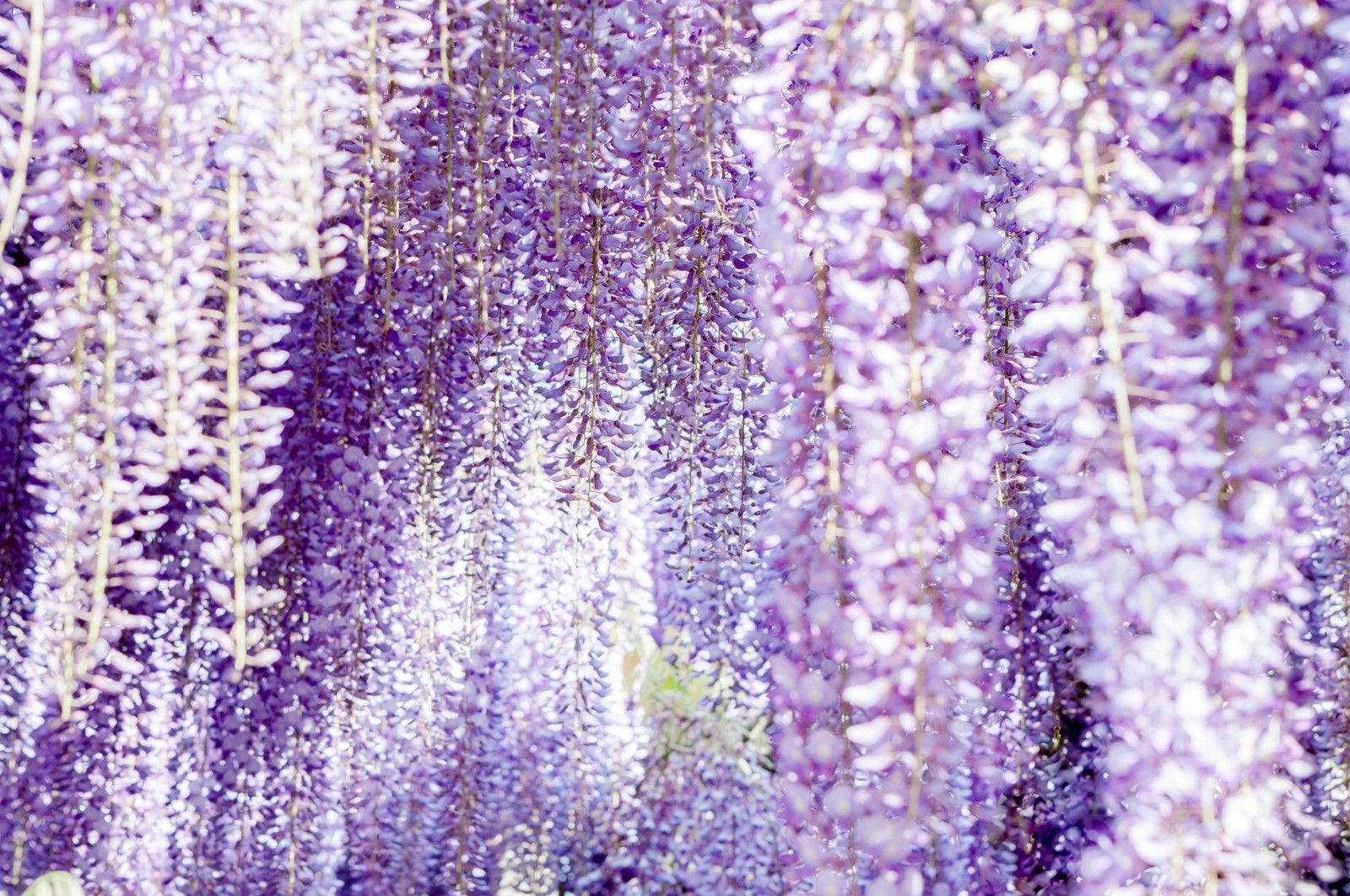 2020 Great Wisteria Festival At Ashikaga Flower Park Things To Do Cherry Blossom Japan Stuff To Do