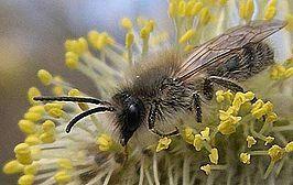 Solitaire bijen. Zijdebij op wilg.