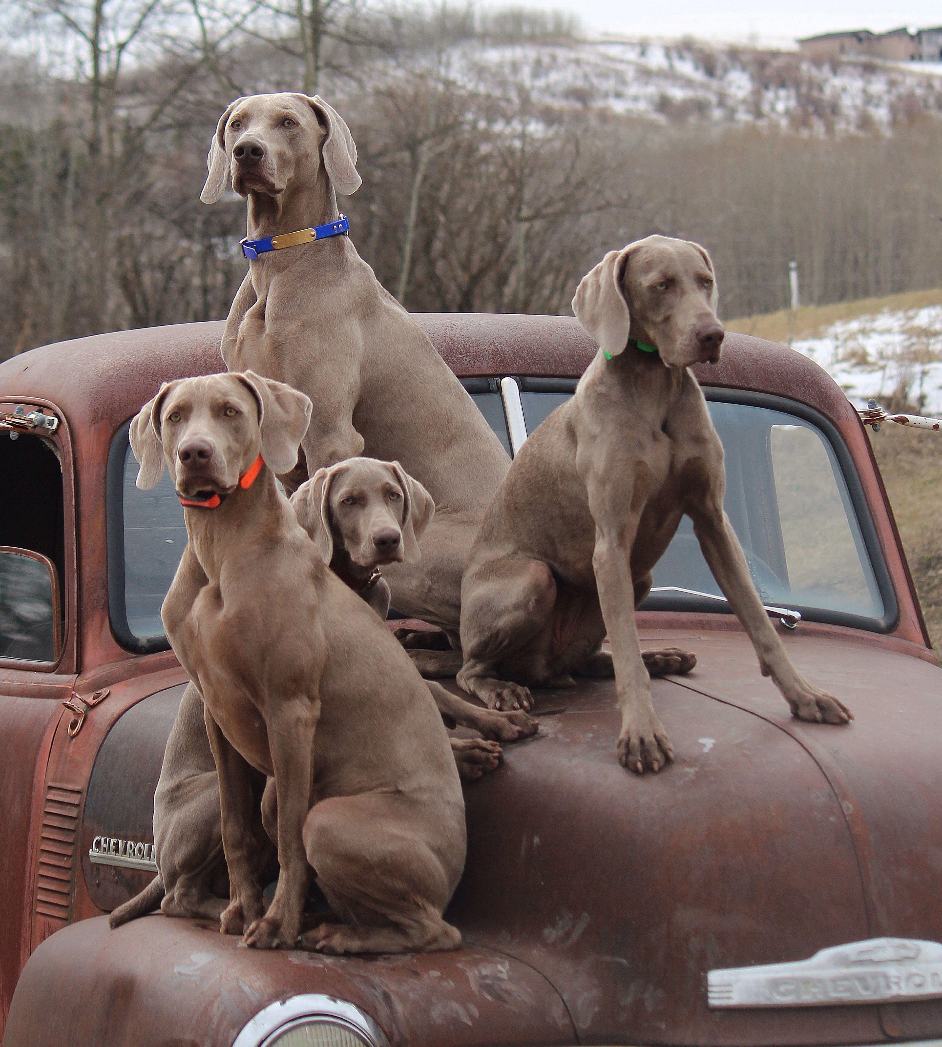 Group Wait Weimaraner Puppies Dog Breeds Dogs