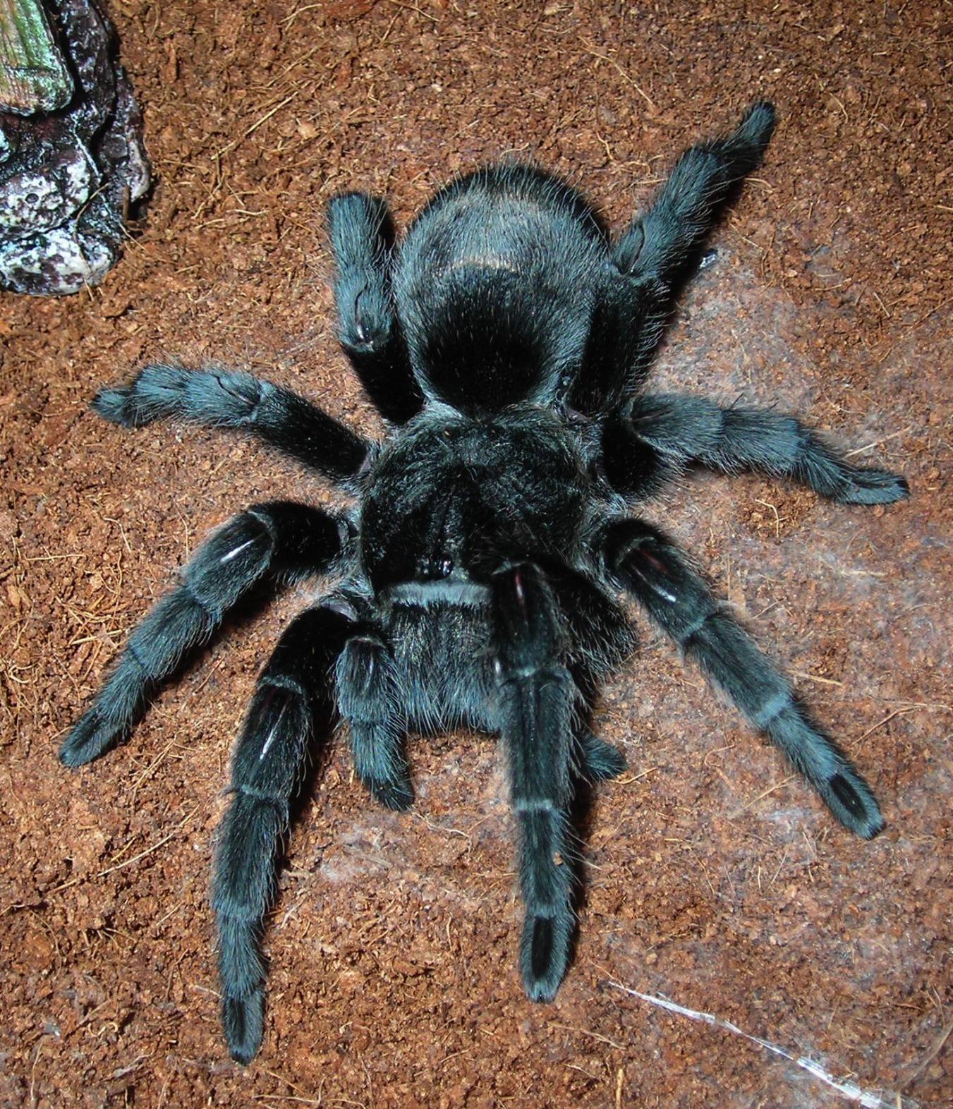 g. pulchra (Brazilian Black) Tarantulas Pinterest