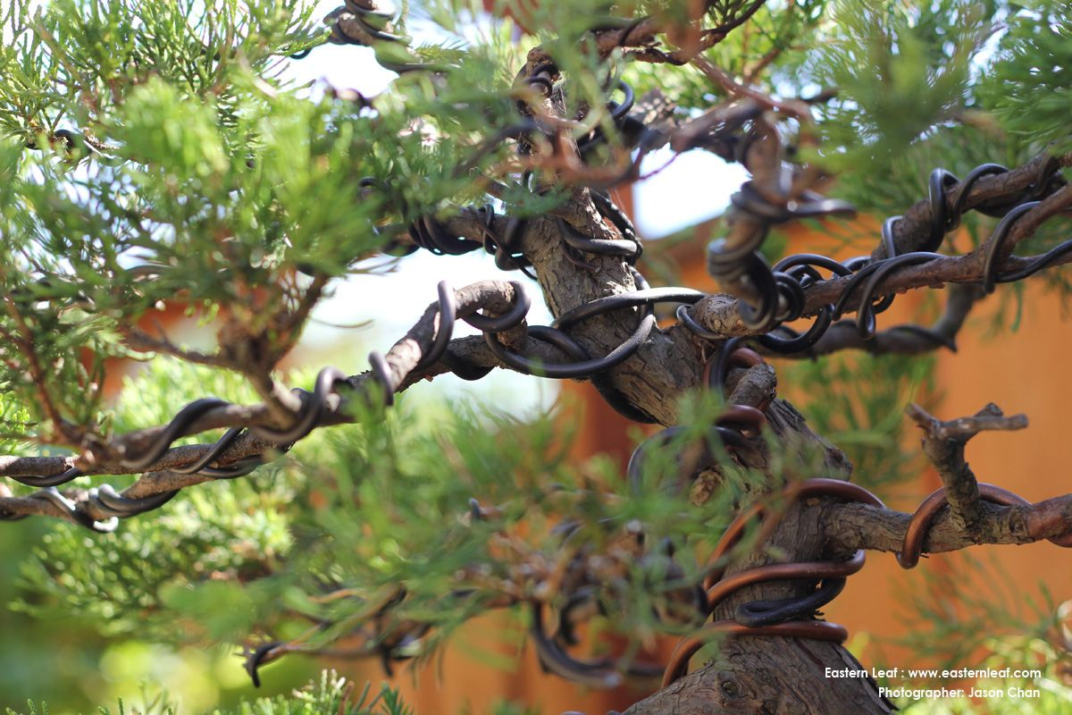 Wiring Is A Useful Method For Training Branches And Trunks On Your Bonsai Tree Good Rule Of Thumb Use Wire Thats 1 3 The Thickness Branch