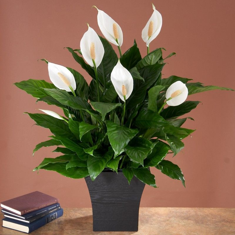 No Light Indoor Plant House Plants Plant Best Sellers 400 x 300