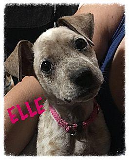 Tempe, AZ Blue Heeler/Boxer Mix. Meet Elle, a puppy for