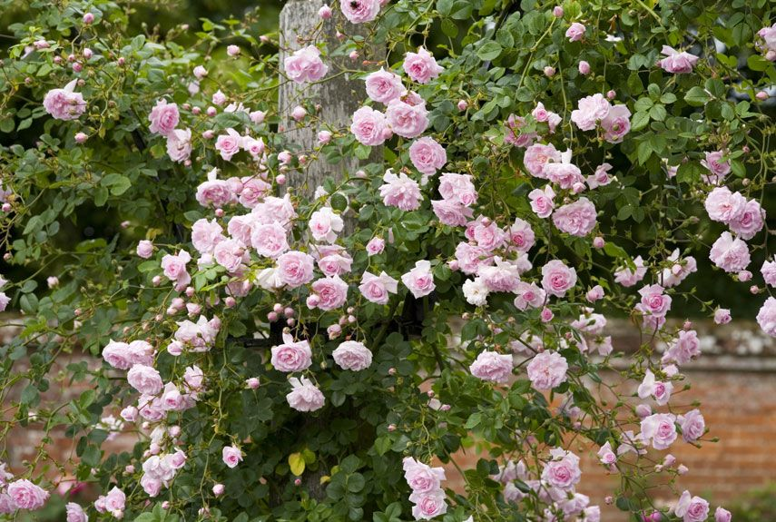 The best climbing roses antique roses dawn and plants - Climbing plants that produce fragrant flowers ...