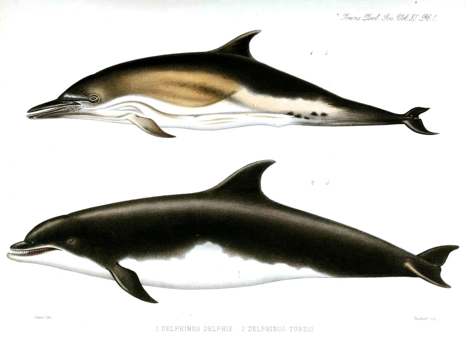 vintage dolphin illustration from vintage printable com the rusty