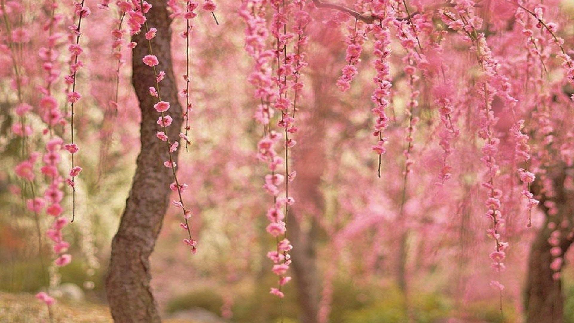 spring cherry blossoms wallpaper hd sharovarka pinterest cherry blossom wallpaper cherry blossoms and blossoms