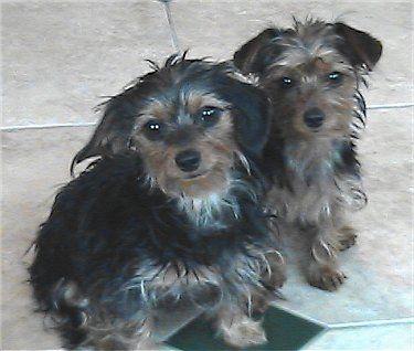 Angel And Josie The Dorkies Dachshund Yorkie Hybrids At 8