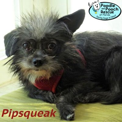 Pipsqueak Is A 3 Year Old 6 Pound Yorkshire Terrier And Cairn