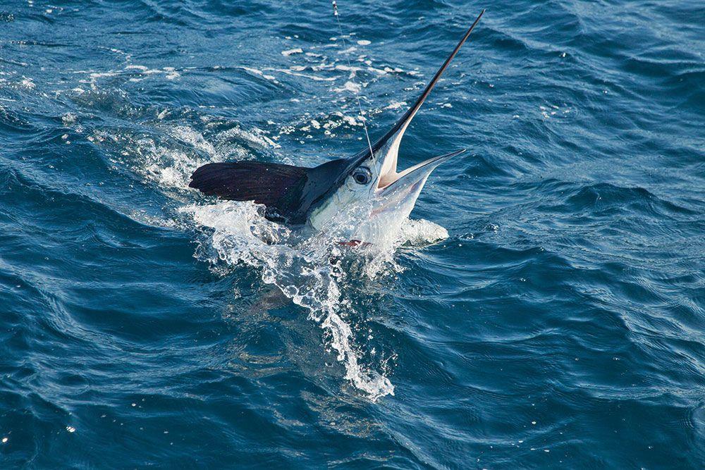 Sailfish Jumping Out Water Fishin Pinterest