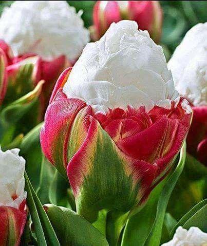 Tulipani gelati