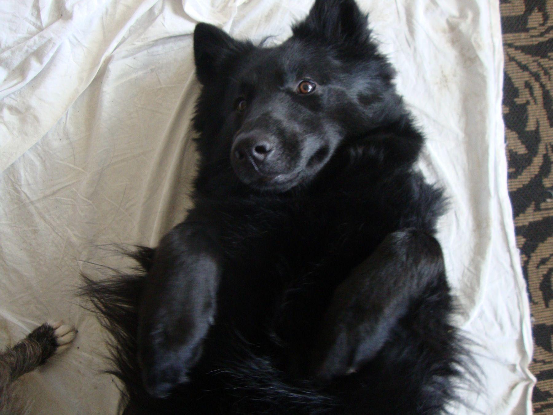 Minka Belgian Shepherd | Pawshake
