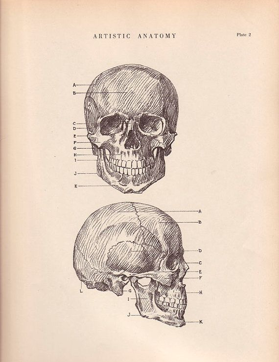 Human Skull Anatomy Print 9 X 12 Drawing Vintage 1941 By Agedpage
