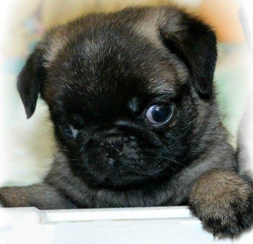 Cute Brindle Pug Puppy Baby Pugs Pug Puppies Black Pug Puppies