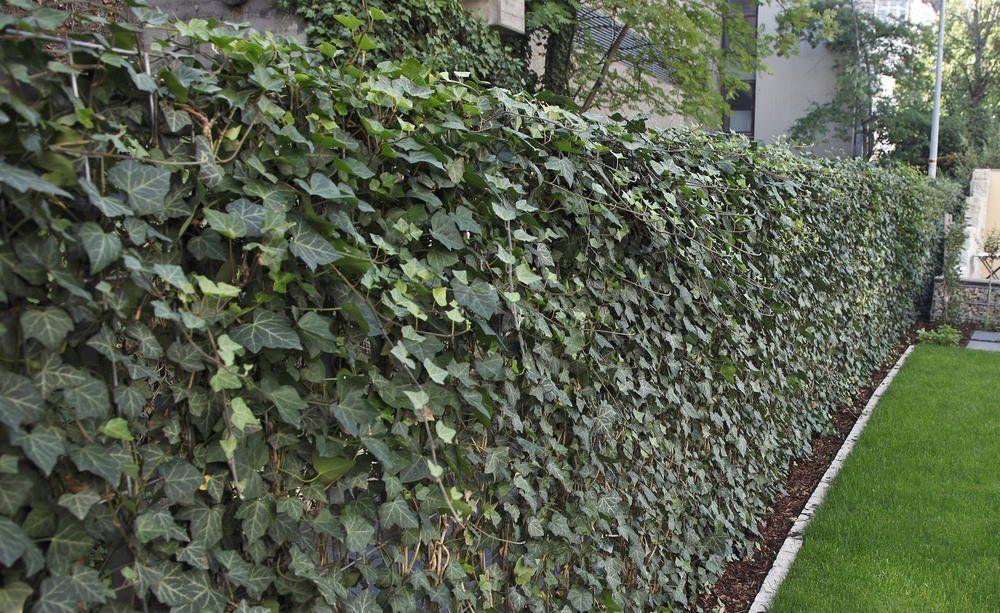 Efeu Als Hecke Pflanzen So Gelingt S Hecke Pflanzen Efeuhecke Gartengestaltung