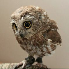 fuzzy baby owl - Google Search