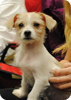 Long Beach Ca Jack Russell Terrier Cairn Terrier Mix Meet