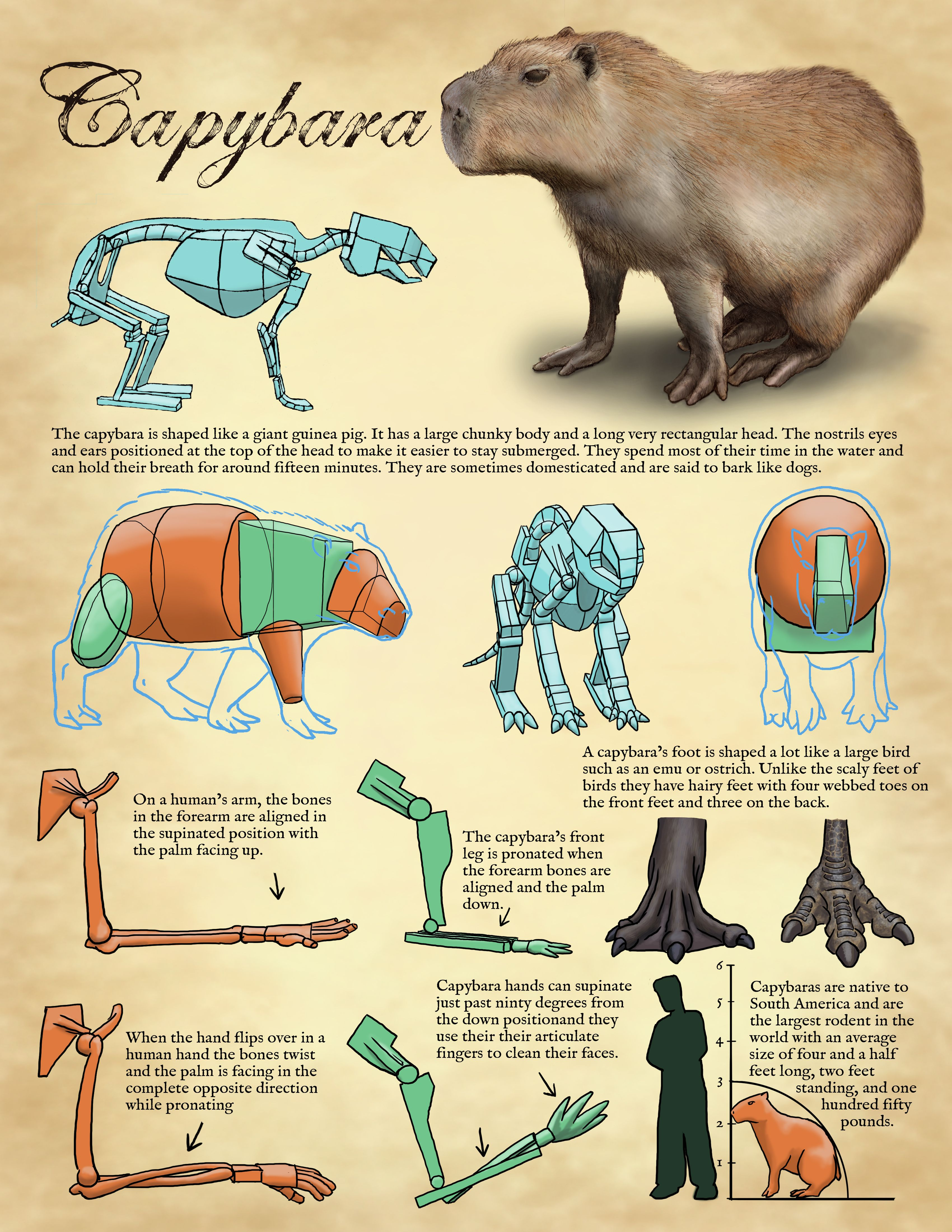 Tips for drawing Capybara   Learn to Draw   Pinterest   Capybara ...