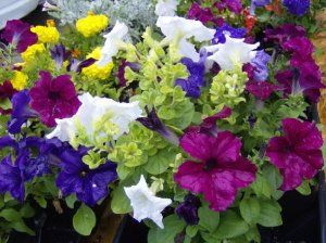 250 Mixed Colors Petunia Flower Seeds By Seedville 2 00 Hardiness Zone Annual Light Requirements Sun Soil Flower Seeds Petunia Flower Petunias