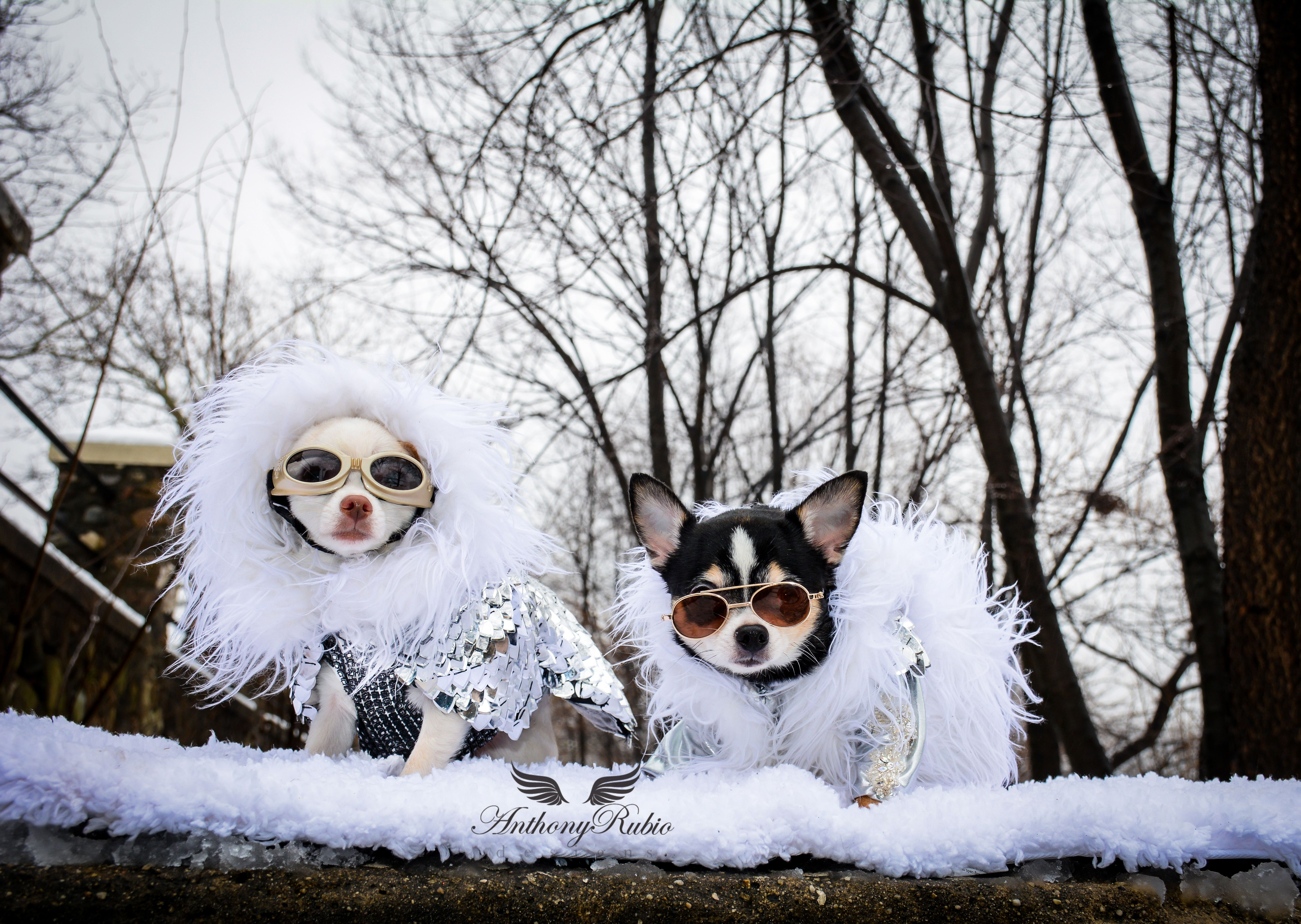 Pet Couturier Anthony Rubio took out his Chihuahuas Bogie and Kimba to enjoy the…