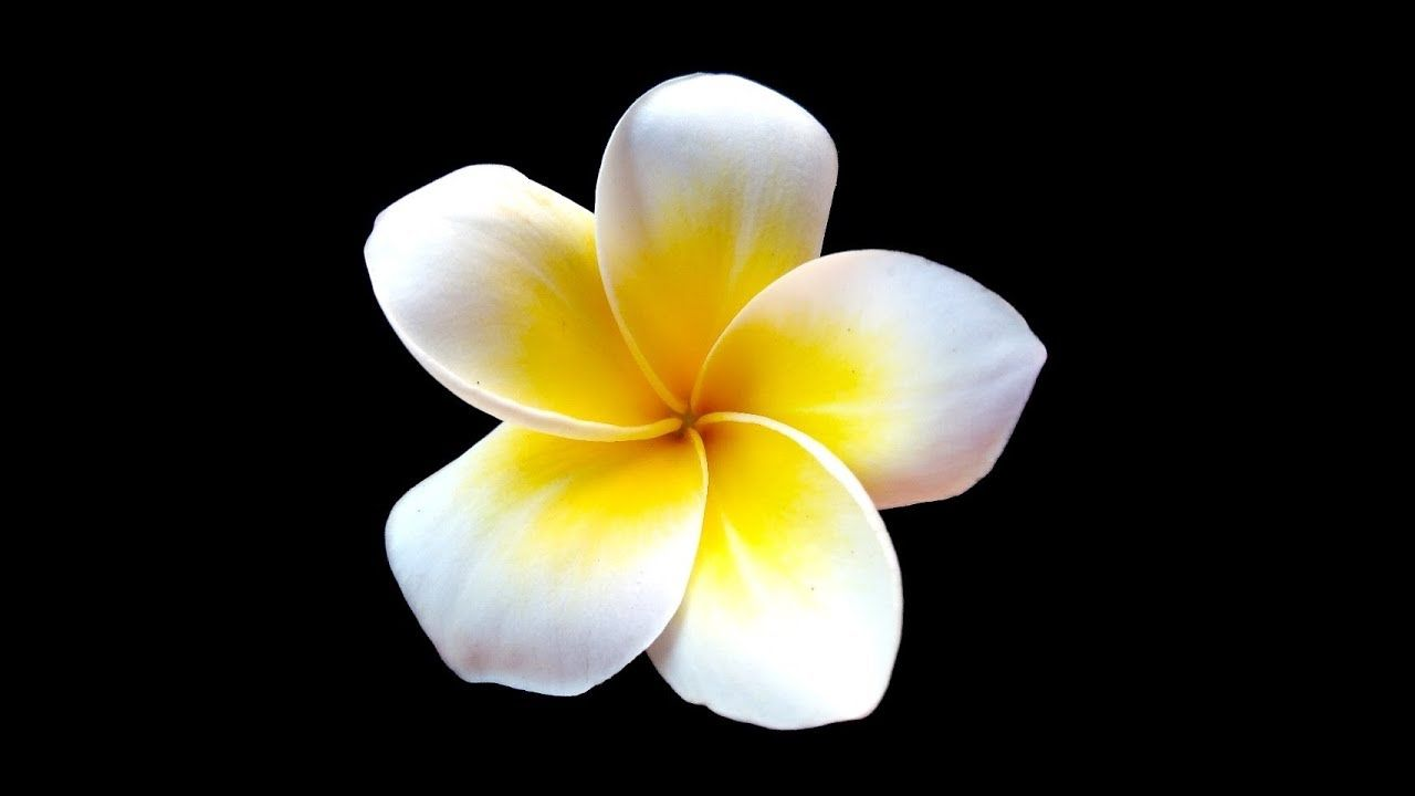 Plumeria Flower Acrylic Painting Live Tutorial Youtube Plumeria Acrylic Painting Tutorials Acrylic Painting Tips