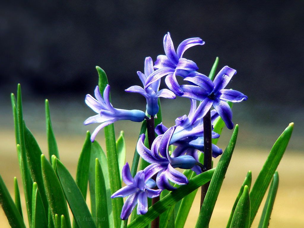 Blue Hyacinth by R_Ivanova
