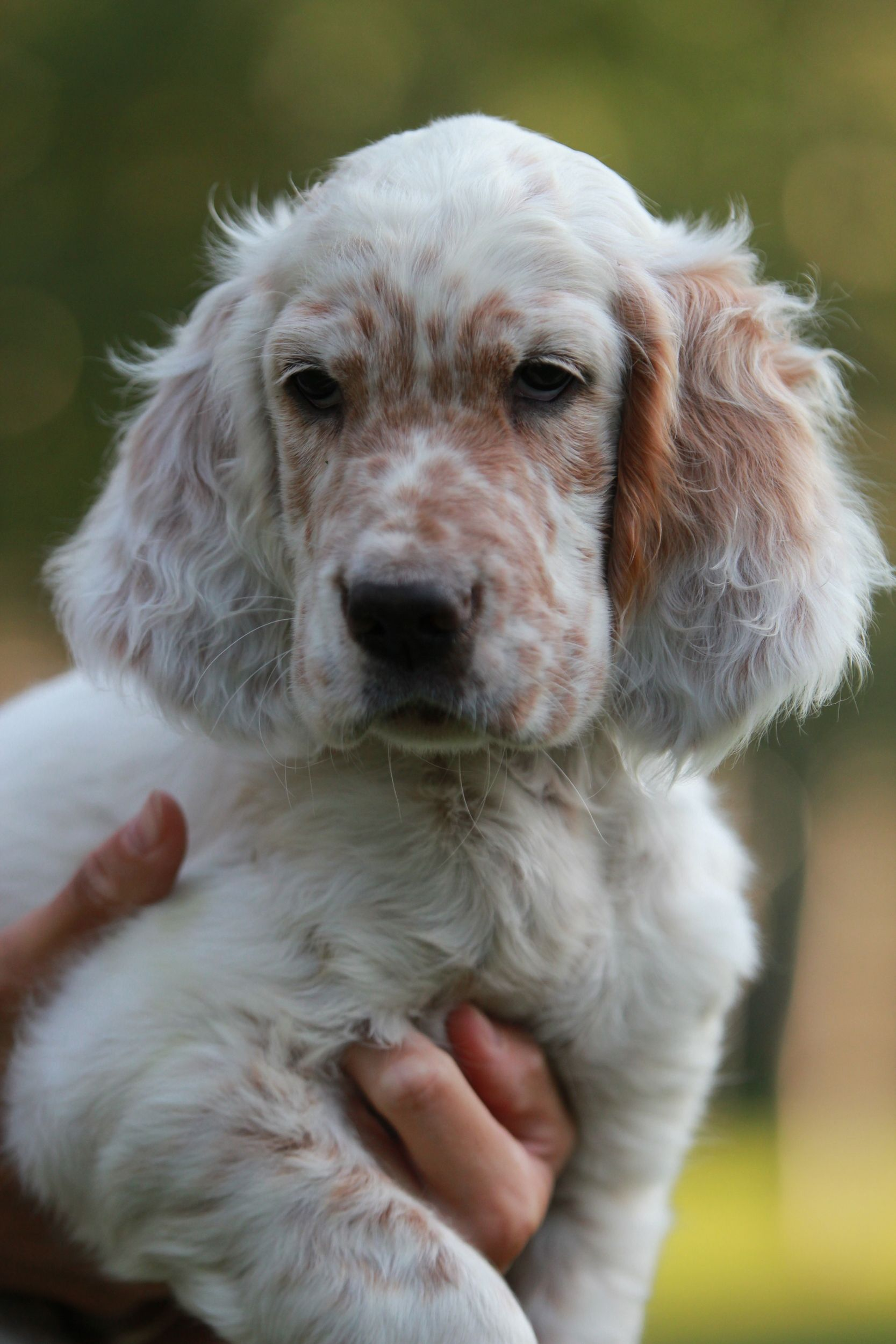 Setter Inglese Orange Belton English Setter Puppies English Setter Dogs Cute Dogs